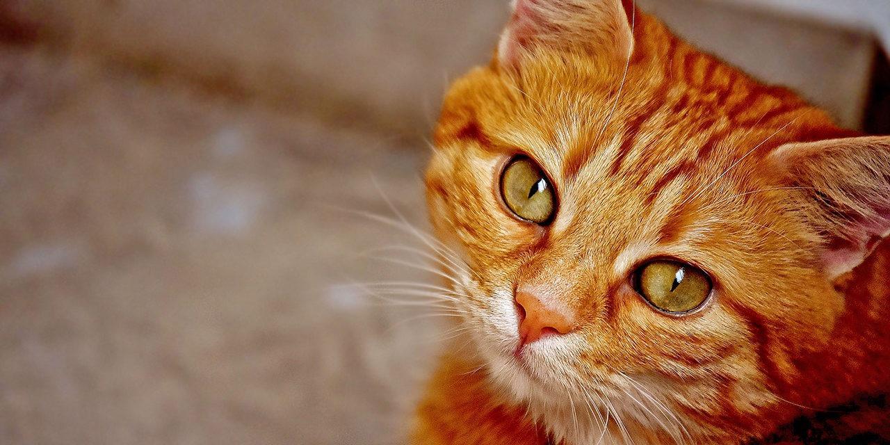 Kuvassa oranssiraidallinen kissa katsoo pää kallellaan kameraan