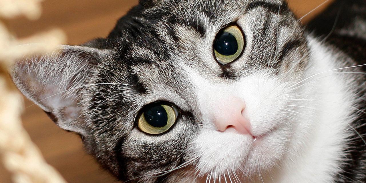 Lähikuva harmaaraidallisesta kissasta joka katsoo pää kallellaan kameraan.