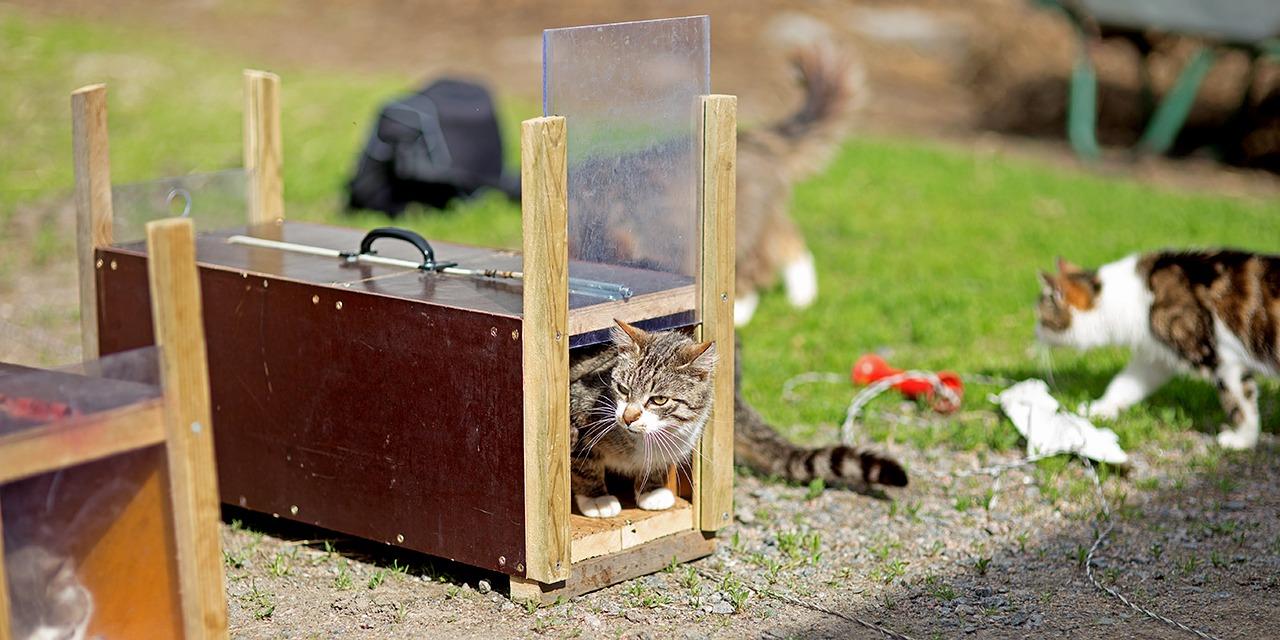 SEYn toimistolta voi kuka tahansa lainata kissanloukkua 50 euron panttia vastaan. Kuvassa ruskearaidallinen kissa kurkistaa loukusta.