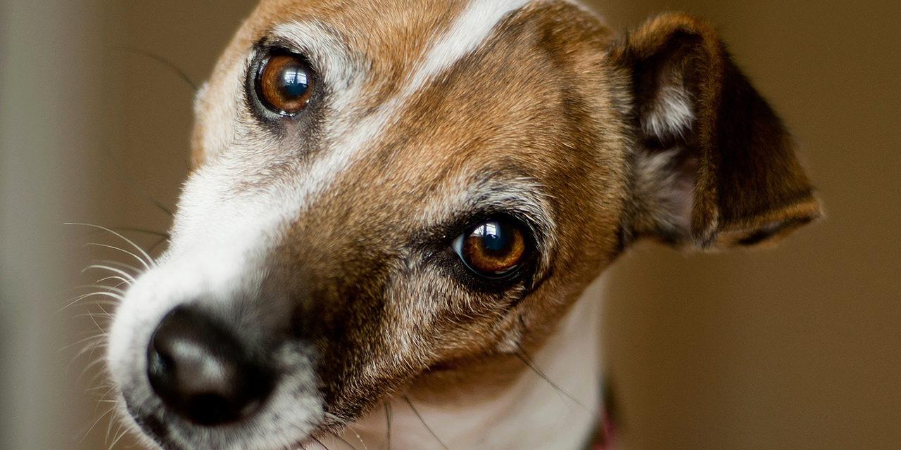 Lähikuva pää kallellaan kameraan katsovasta ruskeavalkoisesta koirasta, jolla korvat ovat puoliksi lupallaan.