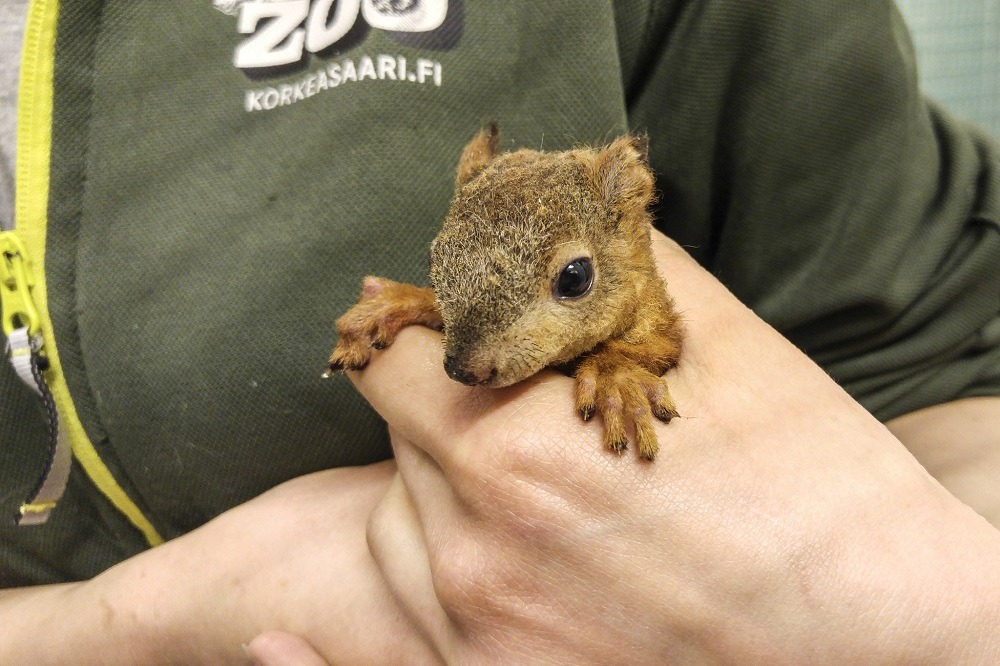 Kuvassa on pieni orava jota hoidetaan Korkeasaaressa.