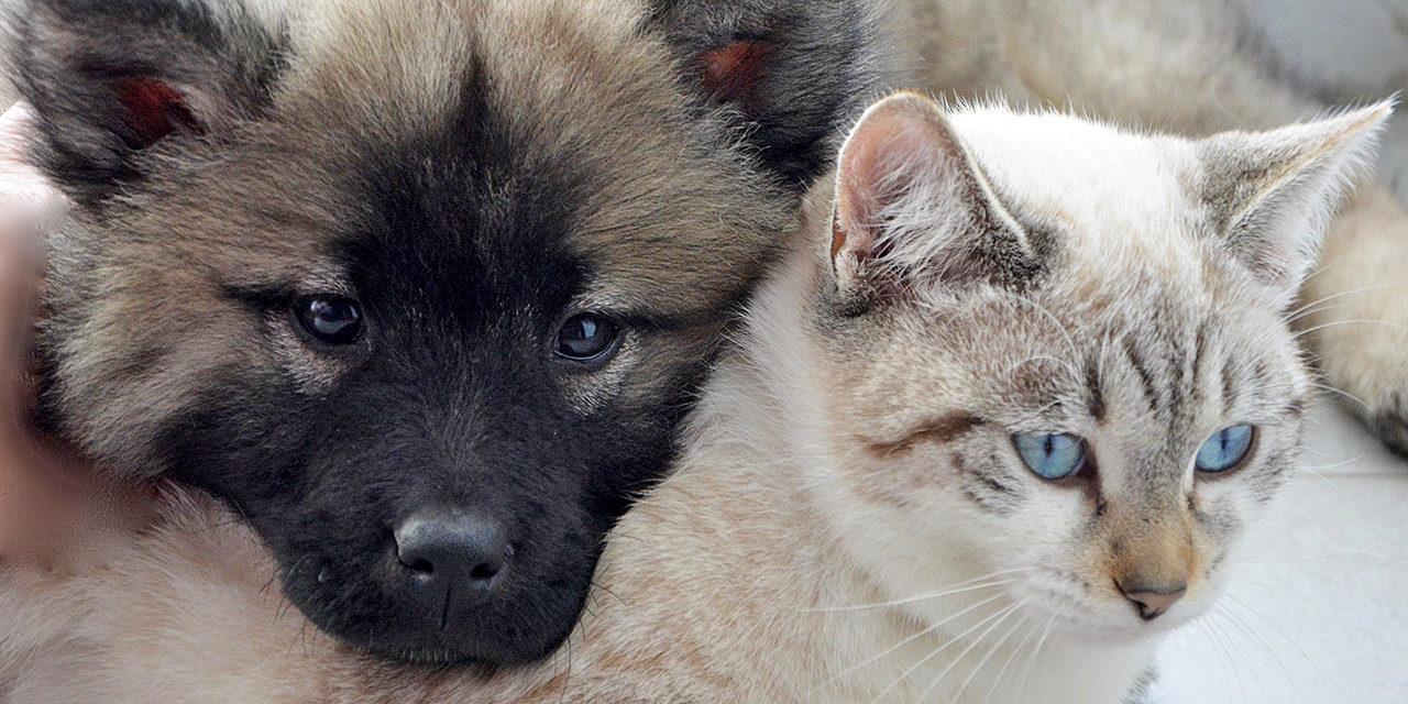 Kodittomat.info-palvelussa voit etsiä eläinsuojeluyhdistysten sijaiskodeissa ja eläintaloissa olevia kodittomia lemmikkejä. Kuvassa harmaa koiranpentu ja vaalea kissa kylki kyljessä.