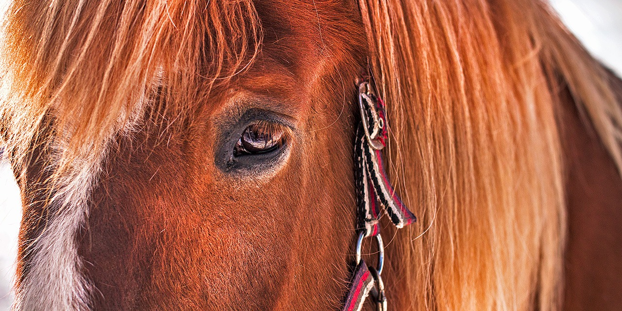 Ihminen kesytti hevosen käyttöönsä noin kuusi tuhatta vuotta sitten. Hevonen on viettänyt ihmisen seuralaisena hyvin lyhyen ajan verrattuna siihen, miten pitkään hevosia on ollut olemassa. Kuvassa lähikuva ruskeasta hevosesta.