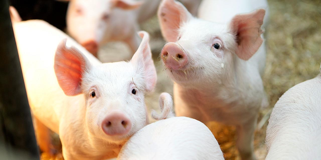 Jaamme vuosittain Heli Castrén -apurahan tutkimushankkeille tai tutkimukselle, jolla edistetään eläinten hyvinvointia. Kuvassa sikoja, joista yksi katsoo kameraan.