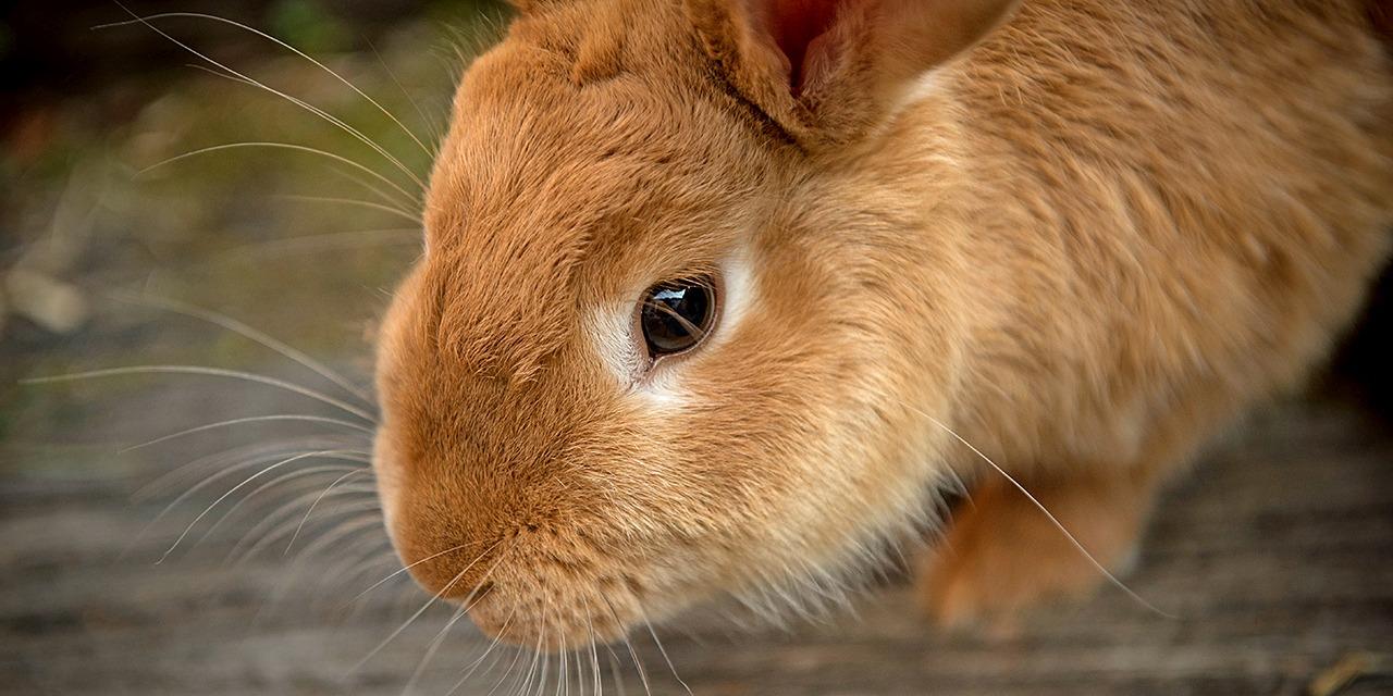 Eläimet ovat hienoa seuraa, ja kumppanuus eläimen kanssa voi kestää parhaimmillaan jopa parikymmentä vuotta. Kuvassa lähikuva vaaleanruskeasta kanista.