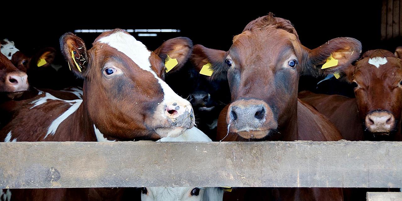 Toimimme eläinten puolesta myös kansainvälisesti. Kuvassa nautoja. joista kaksi katsoo kameraan.