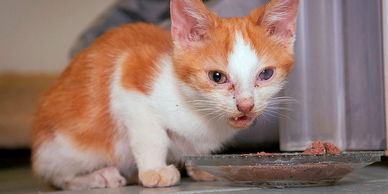 Suomessa on meneillään kissakriisi. Arviomme mukaan maassamme hylätään vähintään 20 000 kissaa vuodessa. Kuvassa oranssivalkoinen rähmäsilmäinen kissanpentu syö ruokaa ruokakupista.