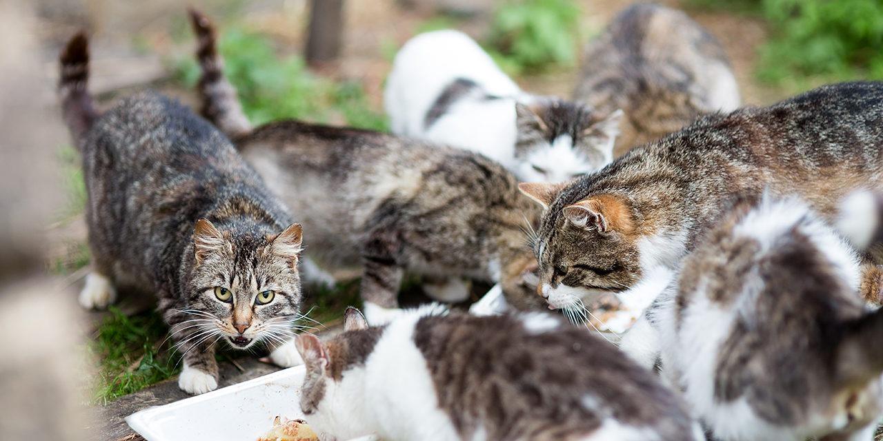 Suomessa on meneillään kissakriisi. Arviomme mukaan maassamme hylätään vähintään 20 000 kissaa vuodessa. Kuvassa ruskeavalkoisia villiintyneitä kissoja syömässä niille annettua ruokaa. Yksi katsoo suoraan kameraan.