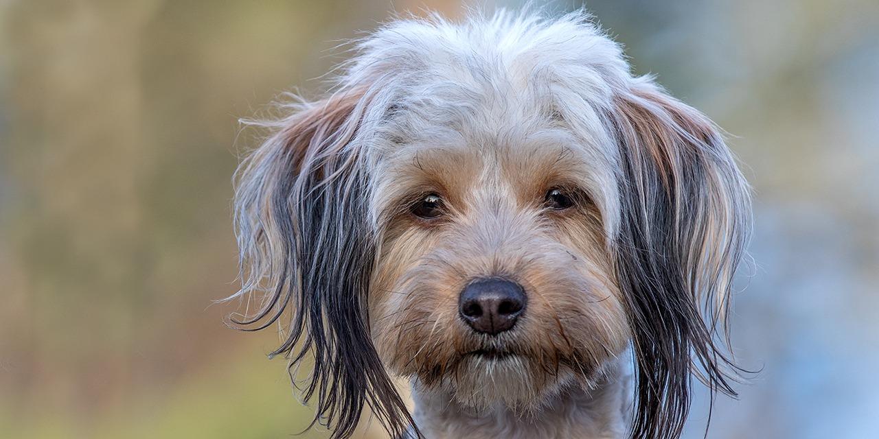 Eläinystävällinen maailma on joka päivä askeleen lähempänä. Sinun lahjoituksesi ansiosta yhä useampi koditon eläin saa uuden kodin, eläinten kaltoinkohtelu vähenee ja pentutehdas sulkeutuu. Valitse alta sinulle sopiva tapa auttaa. Kuvassa vaalea pitkäkarvainen koira katsoo kameraan.