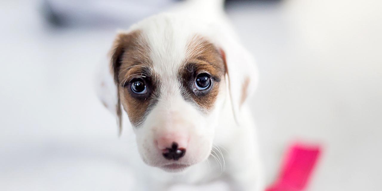 Löytöeläimet ja muut kodittomat eläimet työllistävät paljon Suomen eläinsuojelukenttää. Kuvassa ruskeavalkoinen koiranpentu vaalealla taustalla, katsoo kameraan kulmiensa alta.