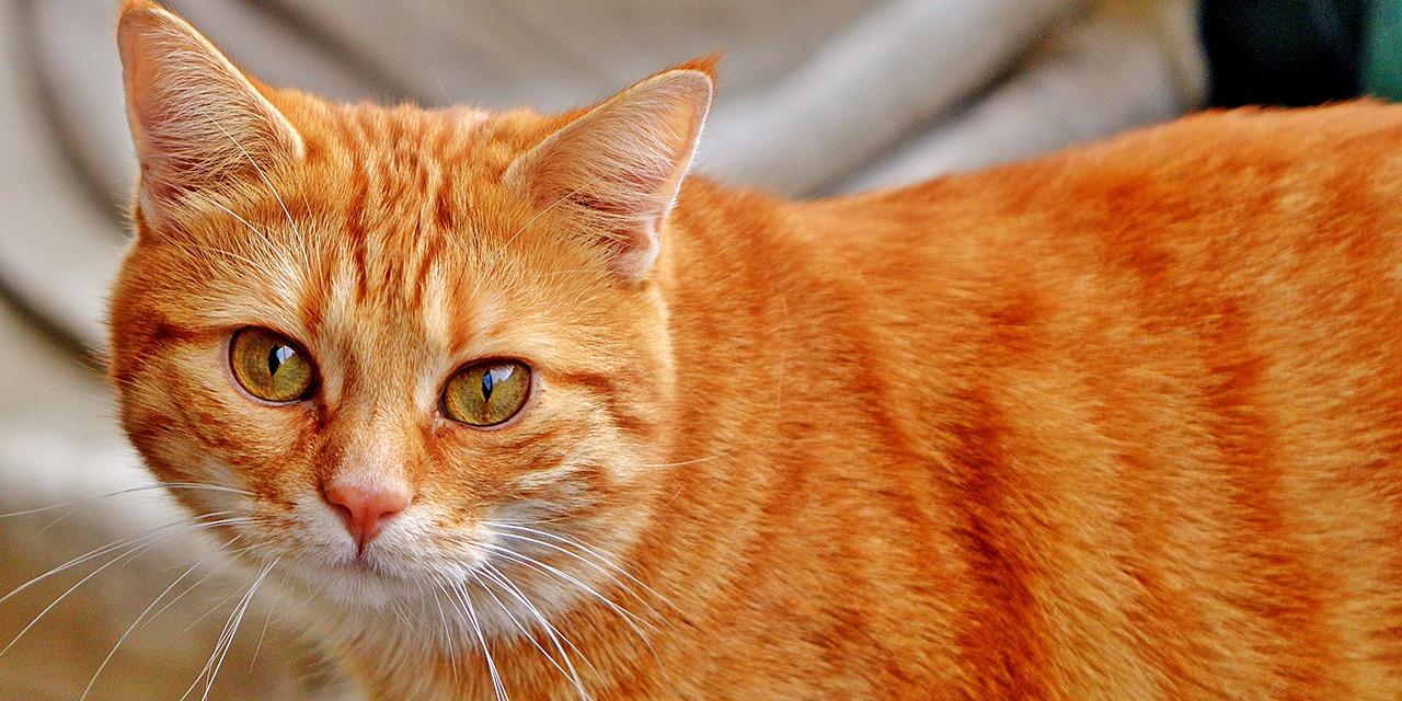 Kouluvierailut ovat perinteistä ja tärkeää nuorisotoimintaa. Kuvassa oranssi kissa katsoo hieman sivulle.