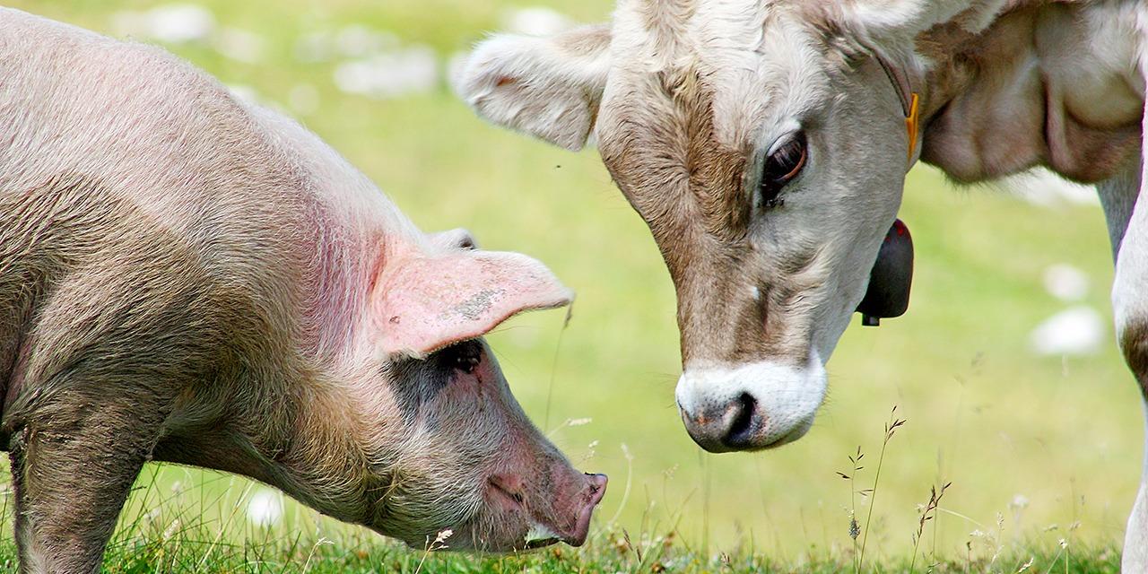 Teemme lausuntoja eläinten hyvinvointiin vaikuttavien lakien luonnoksiin sekä kannanottoja muihin ajankohtaisiin uudistuksiin. Kuvassa sika ja nauta ottavat toisiinsa kontaktia laitumella.