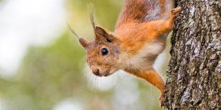 Kun luonnoneläin kärsii ihmisen toiminnan takia, ihmisellä on velvollisuus auttaa. Kuvassa puussa kiipeilevä orava on kuvattu ylösalaisin alaviistosta.