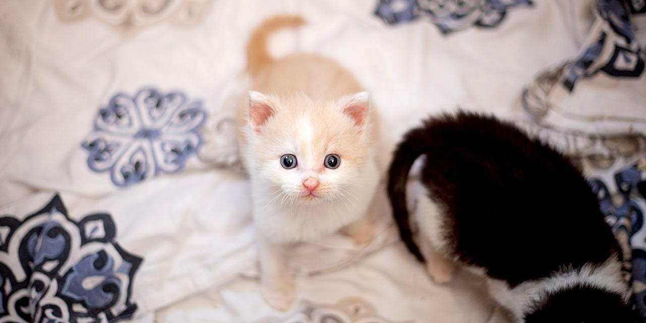 Avoimuus, rehellisyys ja läpinäkyvyys ovat toimintamme kulmakivet. Meille lahjoitetut rahat käytetään lyhentämättöminä kotimaiseen eläinsuojelutyöhön. Kermanvärinen kissanpentu katsoo kameraan.