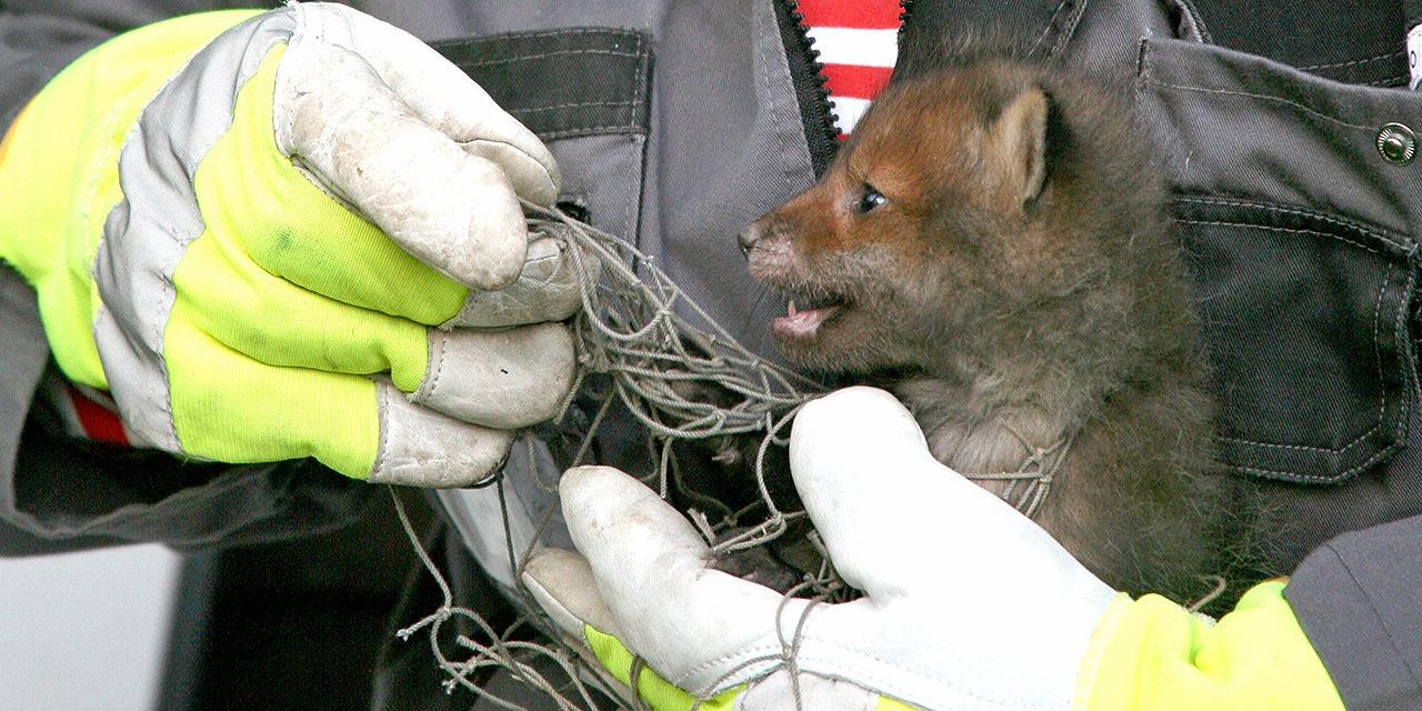 SEYn eläinsuojeluneuvoja on helposti lähestyttävä auttaja, kun epäilet eläimen olevan hädässä. Kuvassa kirkkaankeltaisiin rukkasiin pukeutunut ihminen auttaa verkkoon takertunutta ketunpoikasta.