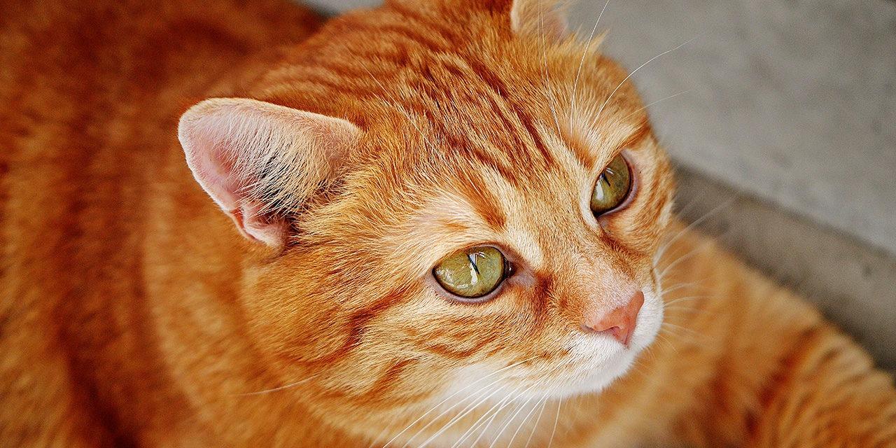 Meille eläinsuojeluongelmien ennaltaehkäisy on tärkeää, ja siksi toiminta lasten ja nuorten kanssa on keskeisellä sijalla. Haluamme lisätä mahdollisimman monen lapsen ja nuoren tietoa eläinten hyvinvoinnin tilasta, eläinten tarpeista sekä vaikuttamiskeinoista eläinten hyvinvoinnin lisäämiseksi. Kuvassa oranssi kissa katsoo eteenpäin.