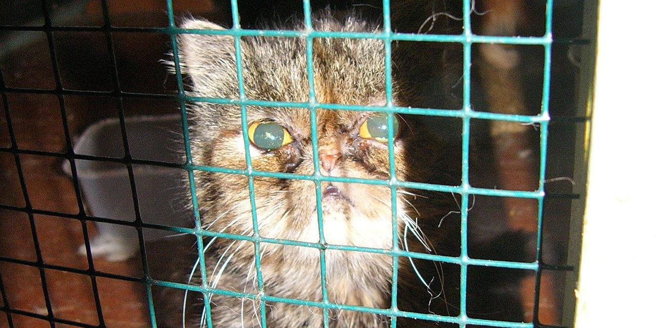 Koiranpentujen kasvattajiksi on 2000-luvulla ryhtynyt paljon ammattimaisia ja tehdasmaisia toimijoita. Kuvassa ruskea lyttykuonoinen kissa katsoo verkkoaidan takaa.