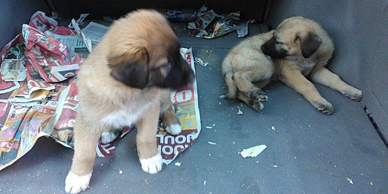 Koiranpentujen kasvattajiksi on 2000-luvulla ryhtynyt paljon ammattimaisia ja tehdasmaisia toimijoita.  Kuvassa kaksi koiranpentua saomalehtien joukossa auton takakontissa.