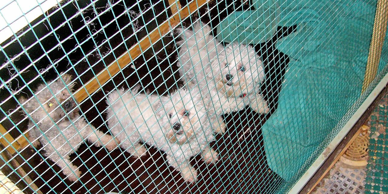 Koiranpentujen kasvattajiksi on 2000-luvulla ryhtynyt paljon ammattimaisia ja tehdasmaisia toimijoita. Kuvassa kolme valkoista koiraa verkkoaidan takana.