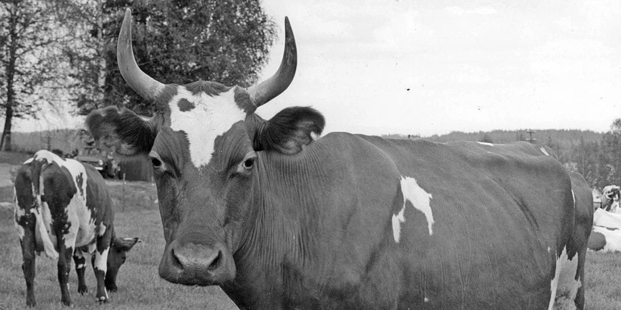Suomen Eläinsuojeluyhdistys syntyi vuonna 1901 vastustamaan vivisektiota eli eläinten elävältä leikkaamista tieteen nimissä. Mustavalkoinen vanha kuva. jonka etualalla kirjava ja sarvipäinen lehmä katsoo kameraan. Kauempana toinen lehmä selin kuvaajaan päin. Kuva vaikuttaisi otetun laitumella.
