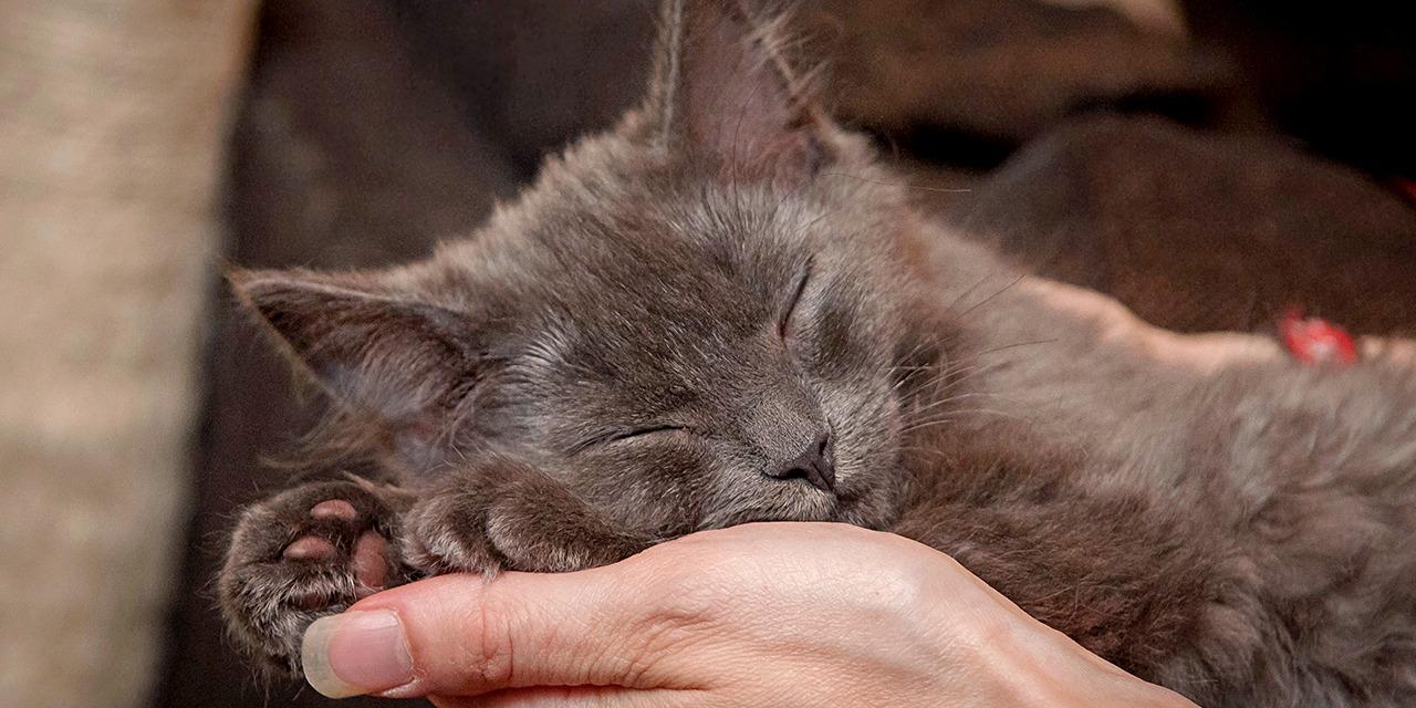 Läheistesi ohella voit myös muistaa eläimiä ja jättää perinnöksesi eläimille paremman maailman. Testamenttilahjoitus on perinteinen ja arvokas tapa tehdä hyväntekeväisyyttä. Kaikenkokoisista testamenteista on suuresti apua. Kuvassa harmahtava kissanpentu nukkuu ihmisen sylissä.