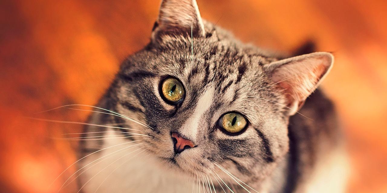 Tuotamme maksuttomia tietopaketteja eläinten hyvinvoinnista ja hoidosta. Kuvassa raidallinen kissa katsoo kameraan.