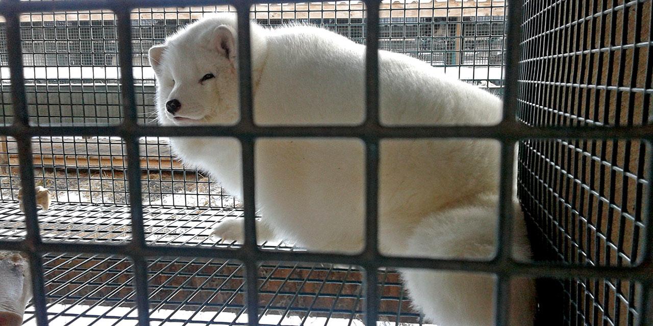 Turkisteollisuudessa eläimiä kasvatetaan kelvottomissa olosuhteissa ja niiden turkki käytetään ihmisten vaatteiksi ja somisteiksi. Kuvassa valkoinen turkiskettu verkkopohjaisessa häkissä, katsoo häkin perältä eteenpäin, hieman ohi kamerasta.