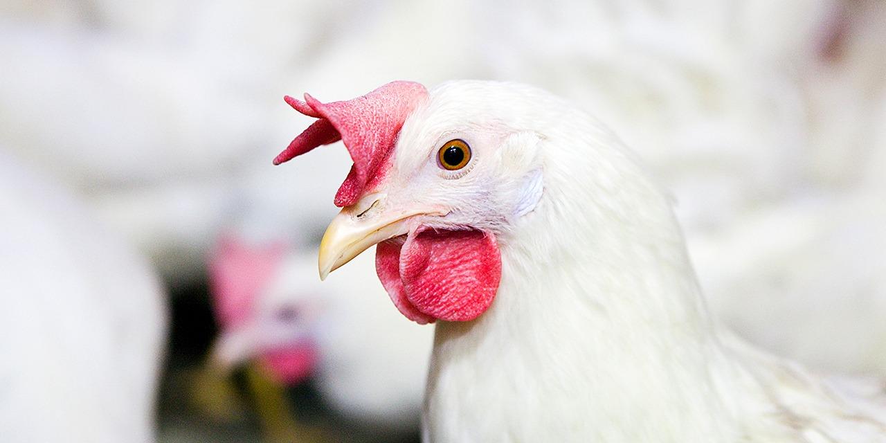 Vuosikertomuksissa kuvataan toimintaamme kattavasti: mitä olemme tehneet, mitä olemme saaneet aikaan ja miten varojamme on käytetty. Kuvassa valkoinen punahelttainen kana sivusta päin kuvattuna vaalealla taustalla.