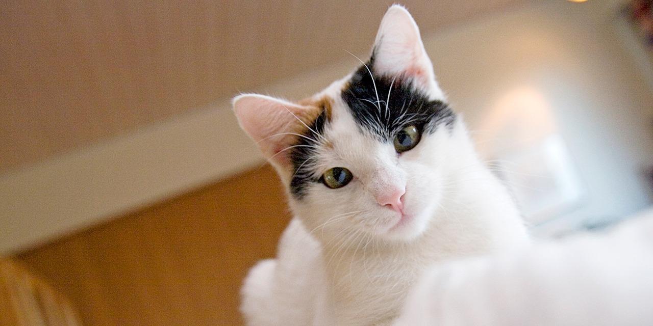 Yhteistyö on yksi kantavista ajatuksistamme, koska eläinsuojelua edistetään parhaiten yhdessä. Kuvassa mustavalkoruskea kissa katsoo kiipeilypuusta alaspäin, suoraan kameraan.