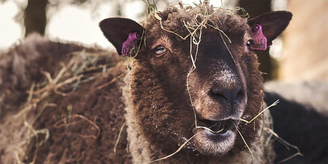 Kuvassa ruskea lammas heinän peitossa