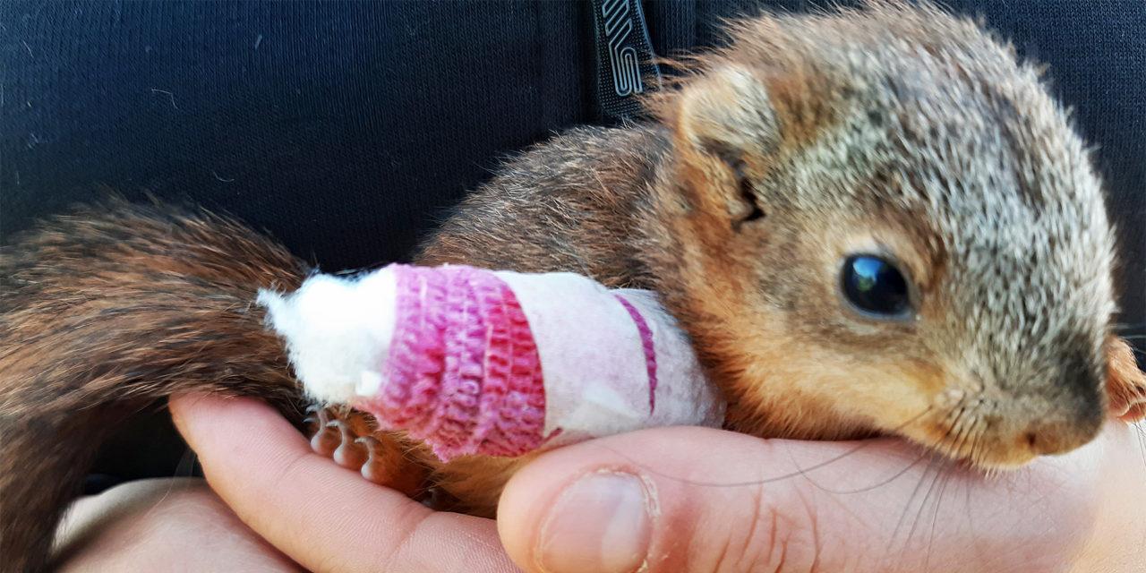 Oravanpoikanen ihmisen kämmenellä käpälä paketissa
