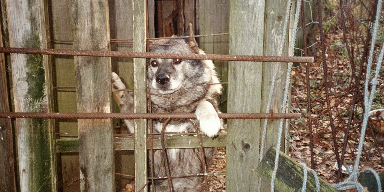 Gray dog in a cage, looking towards camera