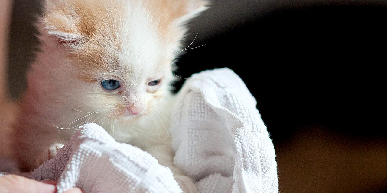 Kuvassa kermanvärivalkoinen kissanpentu pyyhkeen sisällä