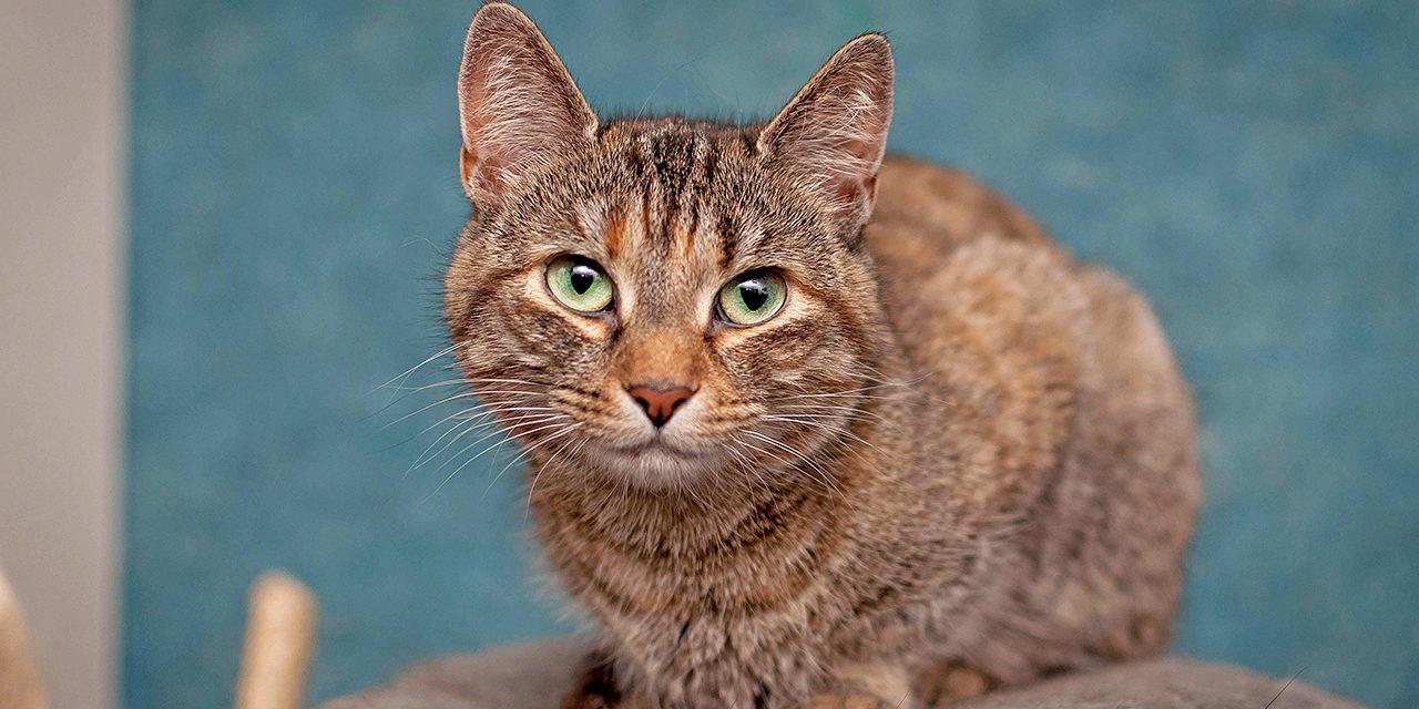 Kuvassa ruskearaidallinen kissa katsoo kameraan