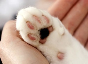 Kuvassa kissan tassu ihmisen kädellä