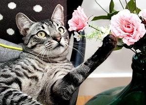 Kuvassa nojatuolissa makoileva ruskeaharmaaraidallinen kissa tavoittelee etutassullaan viereisellä pöydällä maljakossa olevia vaaleanpunaisia ruusuja.