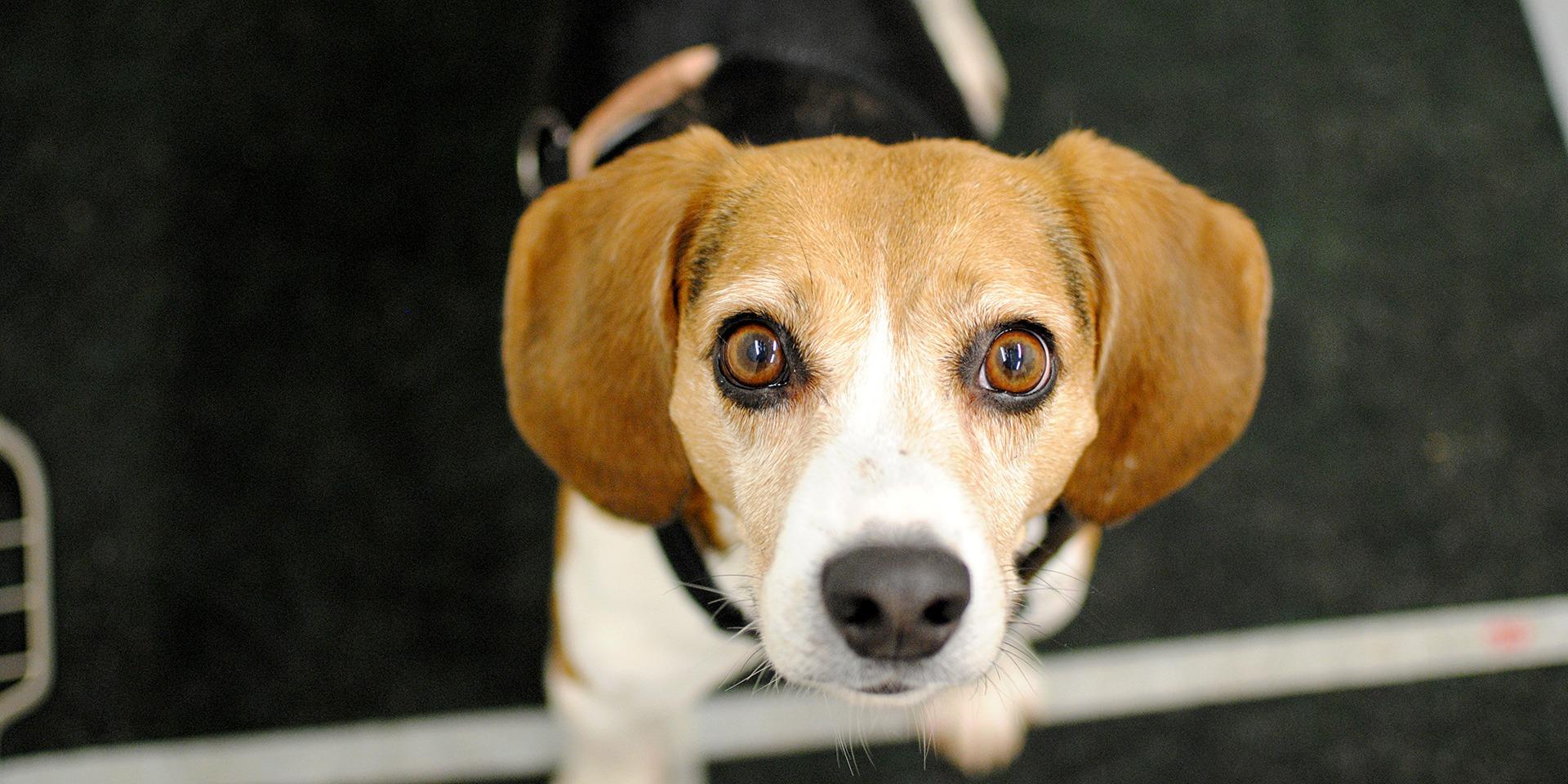 Kuvassa ruskeavalkoinen luppakorvainen koira katsoo silmät pyöreänä kameraan.