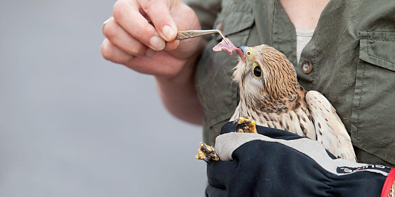 Kuvassa ihminen pitää petolinnunpoikasta käsissään ja syöttää sille pinseteillä lihaa