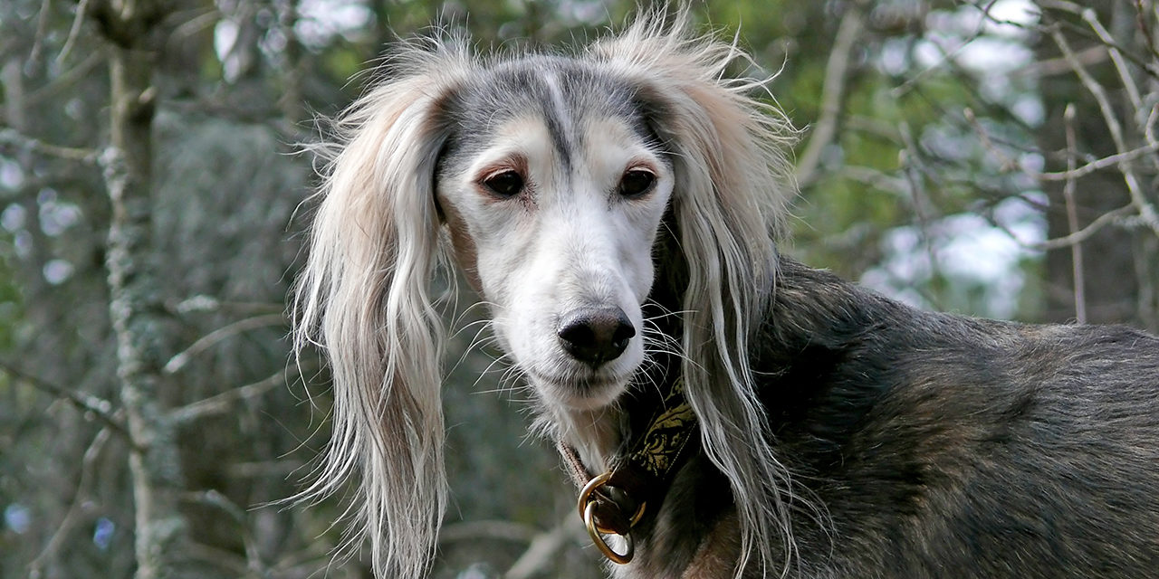 An old saluki dog in forest