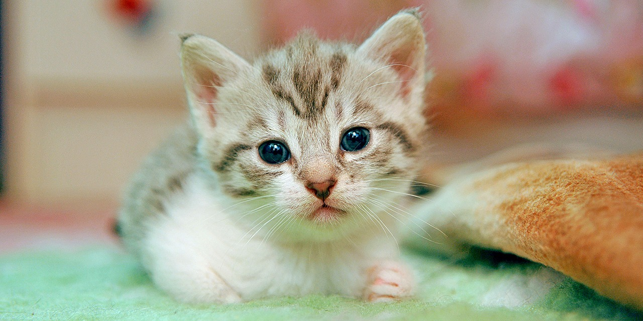 Small brown striped and white kitten looking towards camera