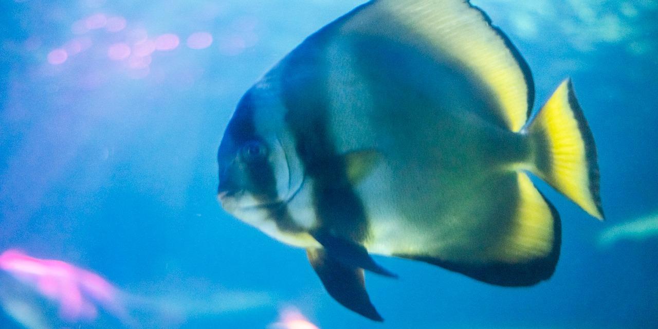 Kuvassa uiskentelee mustaraidallinen kala, jonka evissä ja pyrstössä on hieman keltaista. Vesi kimmeltää sinisenä taustalla.