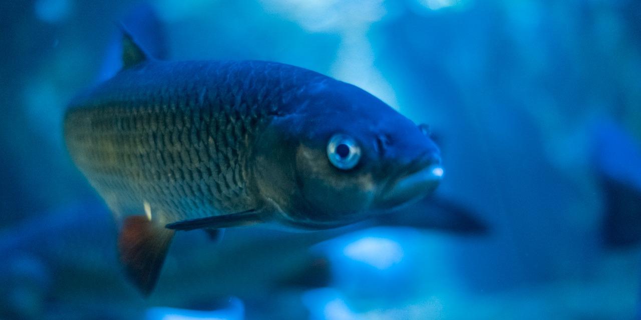 Kauttaaltaan sinisävyisessä kuvassa tumma kala kuvattuna sivuviistosta.