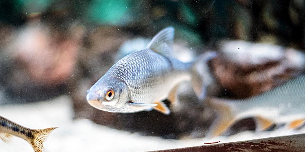 Kuvassa harmaa hopeanhohtoinen ja punaeväinen kala katsoo etuviistosta kohti kameraa