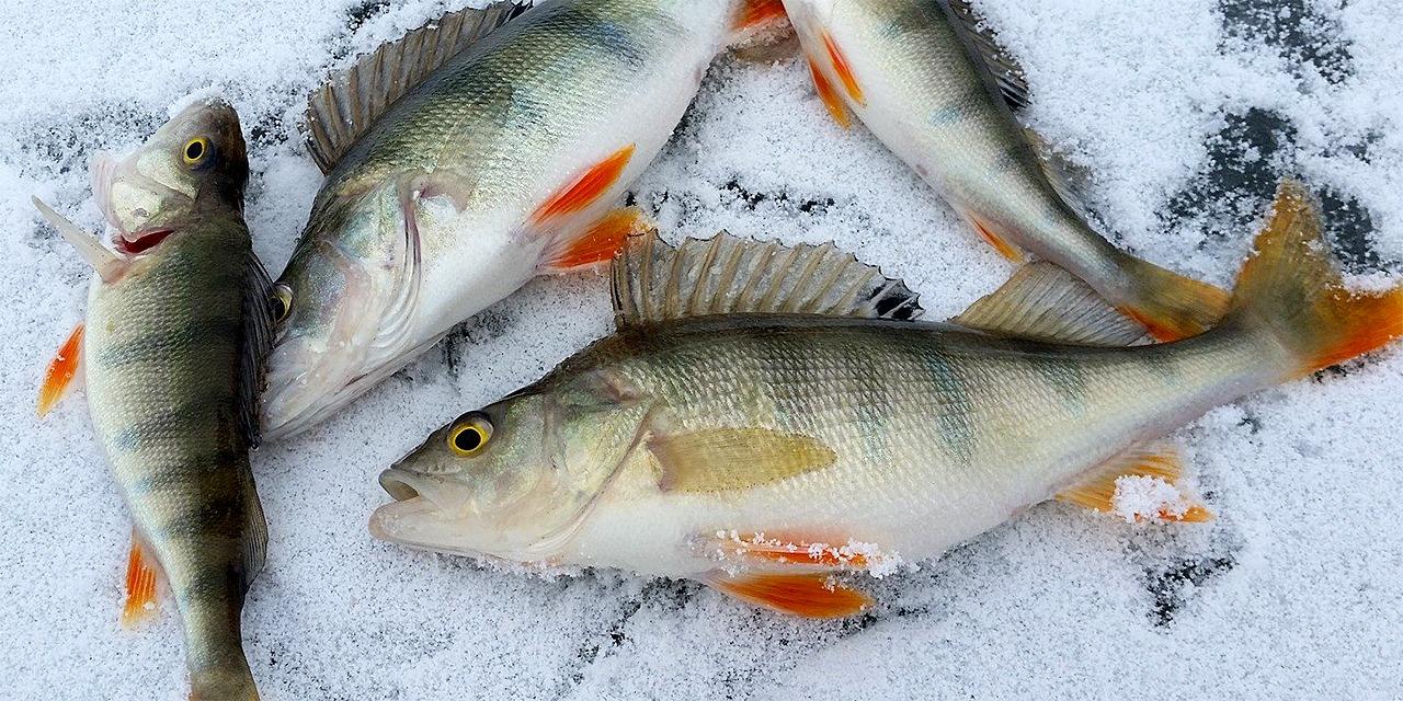 Kuvassa neljä vihertävää ja mustaraidallista kalaa makaavat elottomina jäällä