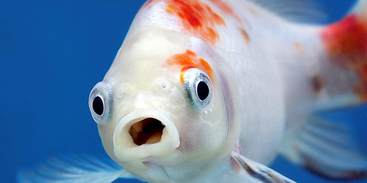 Kuvassa punavalkoinen kala katsoo kameraa kohti suu auki