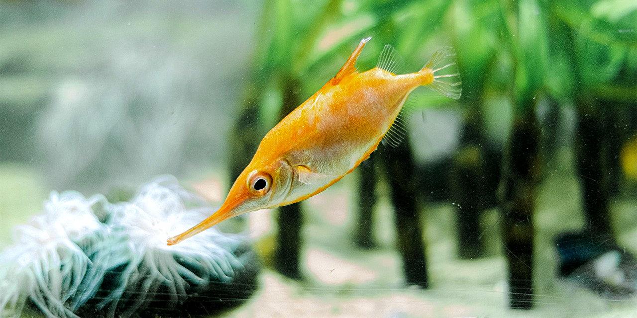Kuvassa oranssi kala, jolla on pitkä nokka