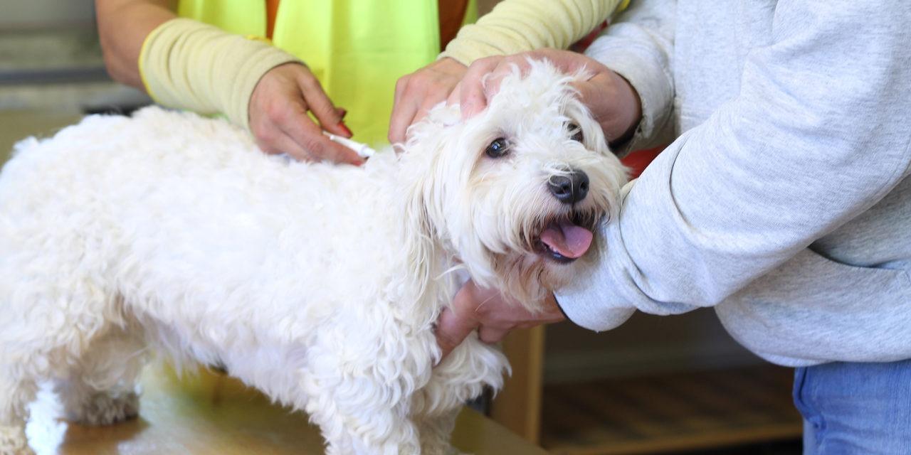 Valkoiselle koiralle pistetään mikrosiru niskaan