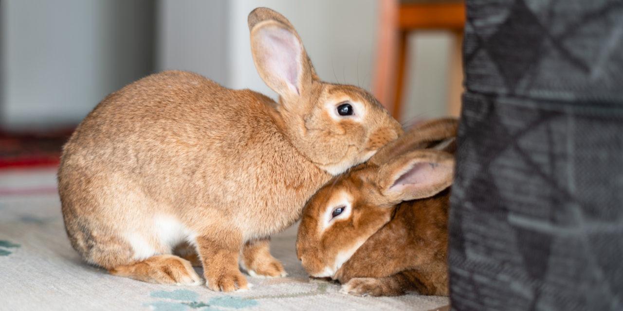 Kaksi vaalean ruskeaa kania pitävät päitään päällekkäin