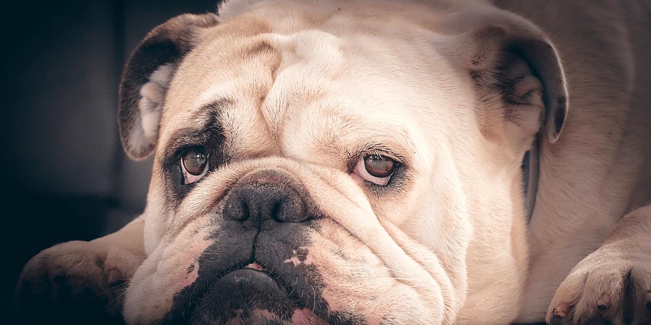 Kuvassa kasvokuva lattialla makaavasta lyttykuonoisesta bulldogista.