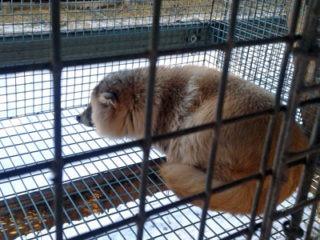 turkiseläin makaa häkissä ja katselee ulos
